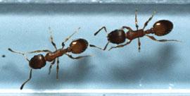 ants tandem running